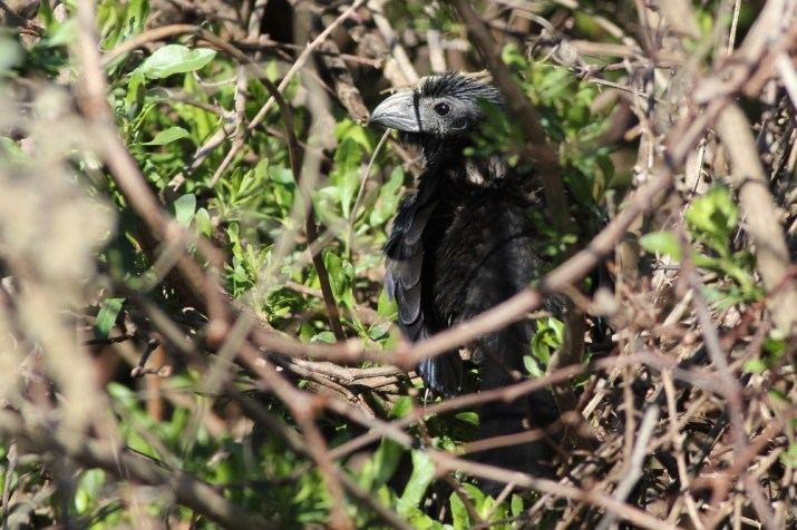 Groove-billed Ani at La Chua Trail. (Photo by Alex Lamoreaux)