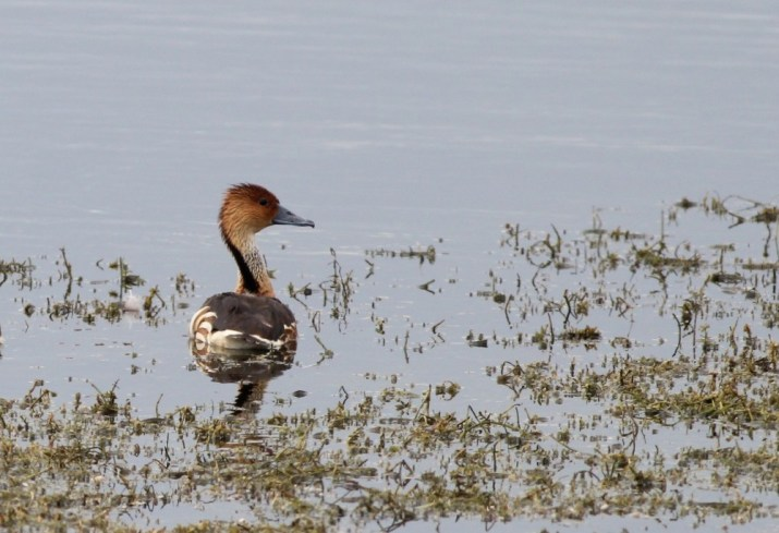 My first lifer of the trip - Fulvous Whistling-Duck! (Photo by Alex Lamoreaux)