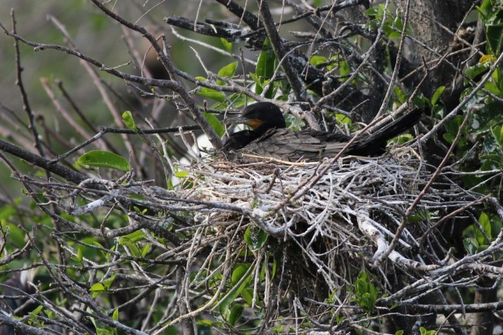 Neotropic Cormorant sitting on its nest - Note the bird's short bill, small head, overall small size, long tail, v-shaped corner of the mouth, and faint white-ish feathers along its lower mandible. (Photo by Alex Lamoreaux)