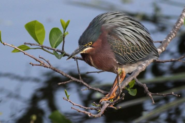 Green Heron (Photo by Alex Lamoreaux)