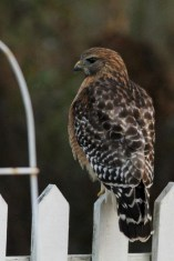 Red-shouldered Hawk - adult; in my yard in Silver Springs, FL