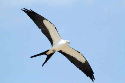 Swallow-tailed Kite -Levy County, FL, April 2012