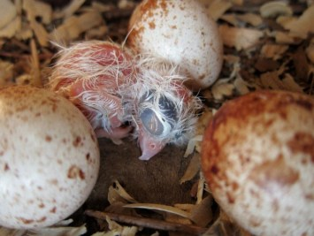 Southeastern American Kestrel chick after hatching