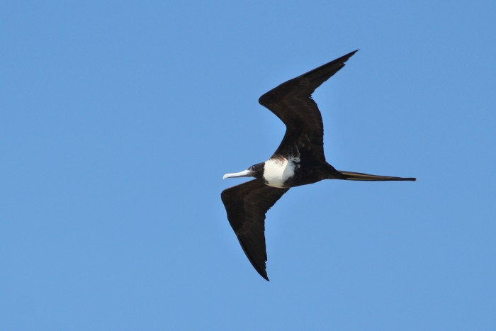 This adult female Magnificent Frigatebird shows a white breast, black belly, and black head. (Photo by Alex Lamoreaux)
