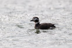 Long-tailed Duck (Photo by Alex Lamoreaux)