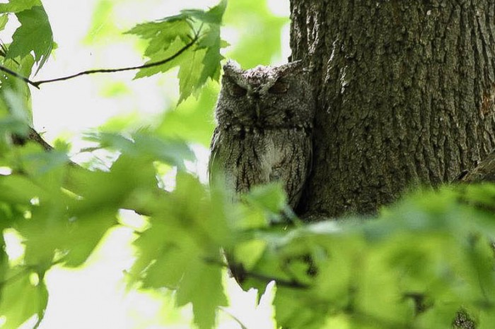 Eastern Screech-Owl  - Magee Marsh, Ohio (Photo by Anna Fasoli)