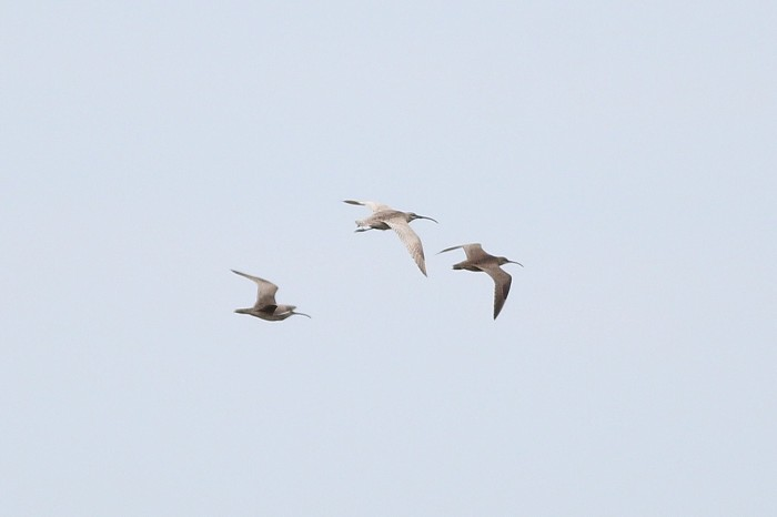Leucistic Whimbrel flying with typical Whimbrel (Photo by Alex Lamoreaux)