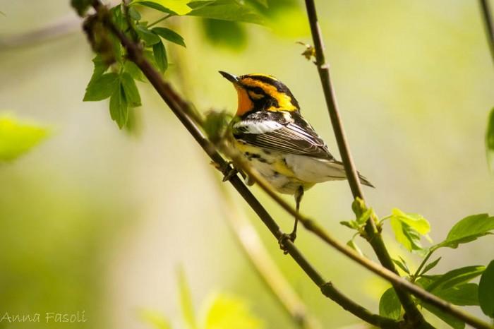 May0413 Blackburnian Warbler-1