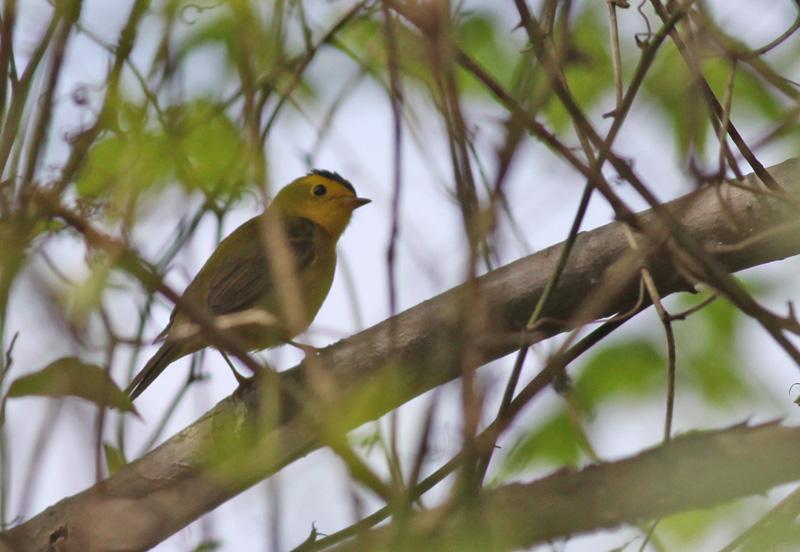 Wilson's Warbler in brush