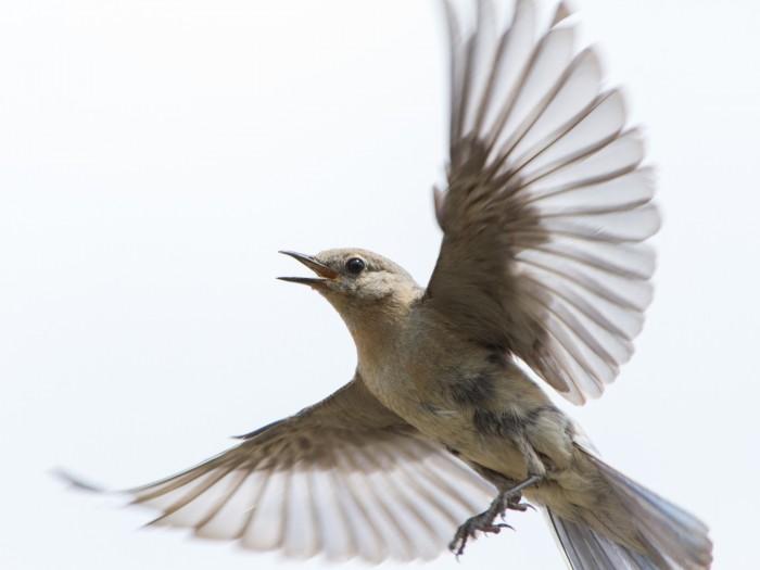 Female Mountain Bluebird defending her nest box