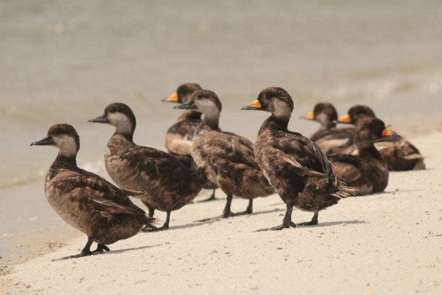 Nine of the ten Black Scoters that are over-summering at Huguenot. (Photo by Alex Lamoreaux)