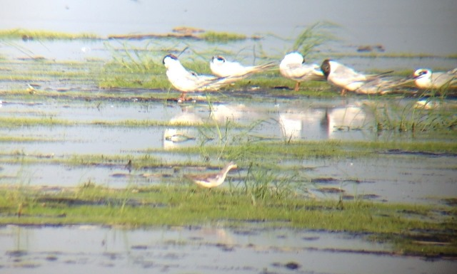 Wilson's Phalarope in Broadkill Marsh at Prime Hook NWR on 27 July 2013. Digiscoped with an iPhone 4S + Celestron Regal M2 80ED & Phone Skope Adapter. iPhone photo by Tim Schreckengost.