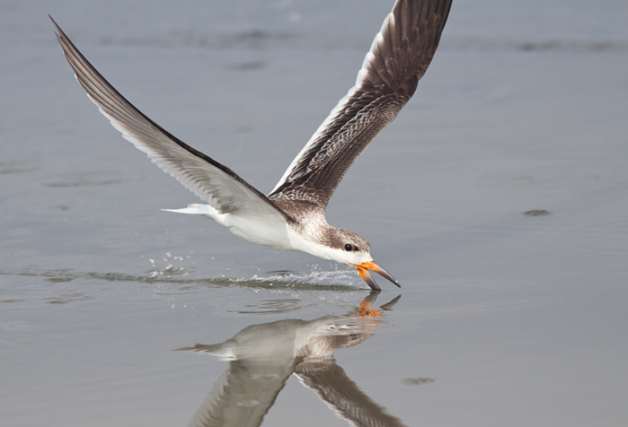 Juv. Black Skimmer that was skimming with an adult several meters in front of the group! Photo by Mike Lanzone
