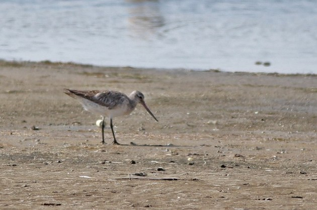 Bar-tailed Godwit - Adult female at Chincoteague NWR, VA (Photo by Alex Lamoreaux)