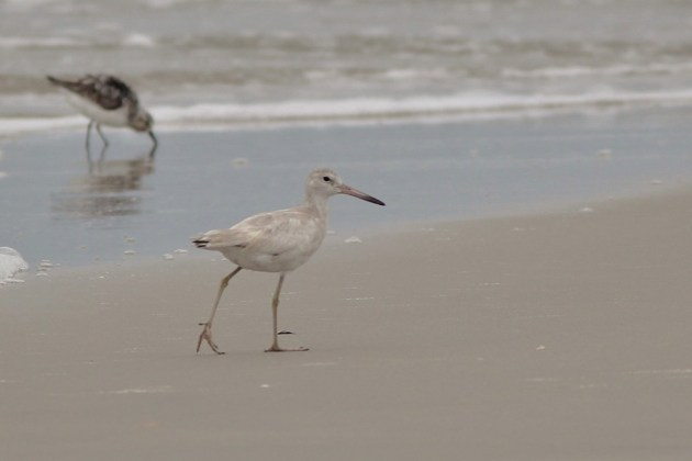 Leucistic 'Western' Willet on the Wild Beach at Chincoteague NWR. (Photo by Alex Lamoreaux)