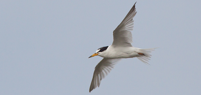 Least Terns were very common almost everywhere we went on OBX. This one came in close to check us out while birding on Pea Island NWR Photo by Mike Lanzone