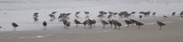 Flock of 19 adult Hudsonian Godwits along the beach, with Red Knots. (Photo by Alex Lamoreaux)