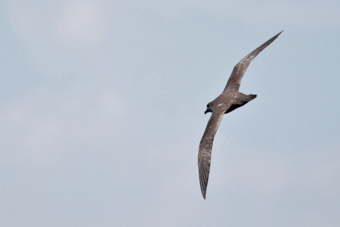 Herald 'Trindade' Petrel (dark type) - Our first Herald of the two days. (Photo by Alex Lamoreaux)