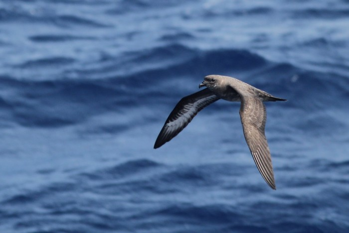"Herald 'Trindade"" Petrel (intermediate type) making one last close pass near the boat. (Photo by Alex Lamoreaux)"