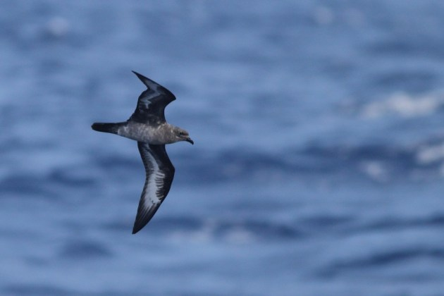 "Herald 'Trindade"" Petrel (intermediate type) passing close to the boat on our second day out. (Photo by Alex Lamoreaux)"