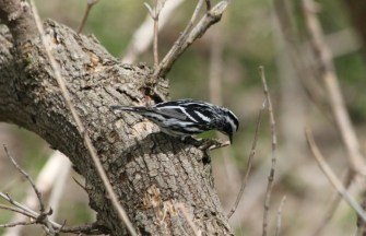 Black-and White Warbler (photo by Steve Brenner)