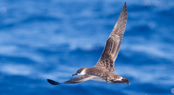 Great Shearwater, ~25 miles ESE Hateras, NC (Photo by Mike Lanzone)