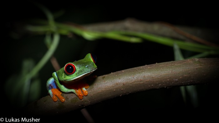Taking a moment to crush a frog instead of a bird is worth the effort and time away from D-Sibs. Red-eyed tree-frog, Tortuguero, Costa Rica.