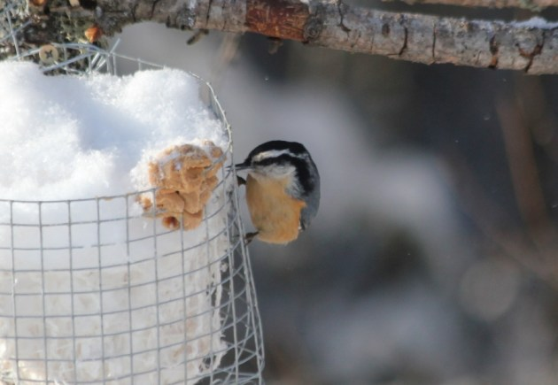 Red-breasted Nuthatch enjoying his new namesake (photo by Steve Brenner)