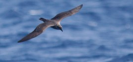 Intermediate Trindade Petrel (Photo by Mike Lanzone)