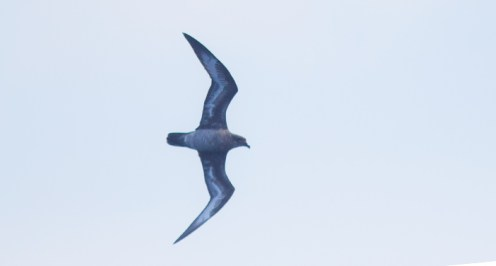 Intermediate Trindade Petrel (Photo by Mike Lanzone)