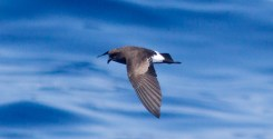 Wilson's Storm-petrel following the boat (Photo by Mike Lanzone)