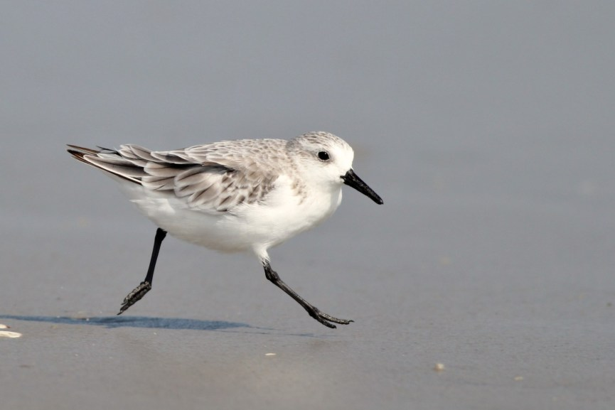 Sanderling leaping past (Photo by Alex Lamoreaux)