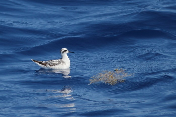 Red-necked Phalarope (Photo by Alex Lamoreaux)
