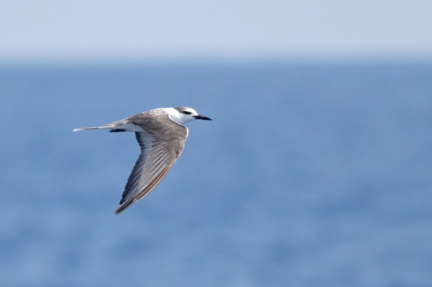 Late in the day on our first day out, as we were crossing a thick line of sargassum weed, this adult Bridled Tern also intersected the boat and flew very close down the starboard side! A lifer for me! (Photo by Alex Lamoreaux)