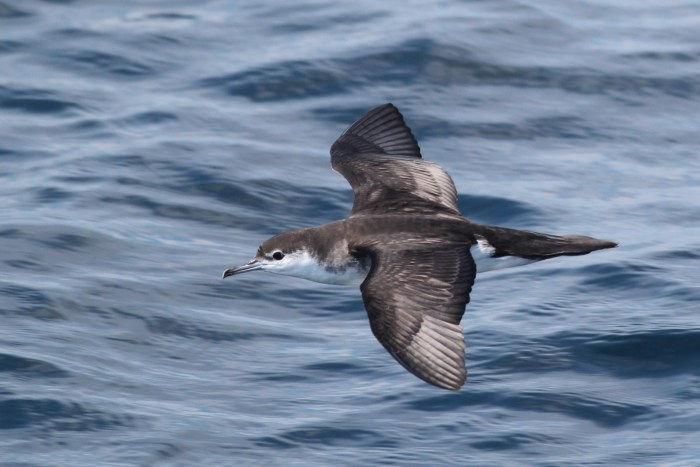 A particularly close Audubon's Shearwater (Photo by Alex Lamoreaux)