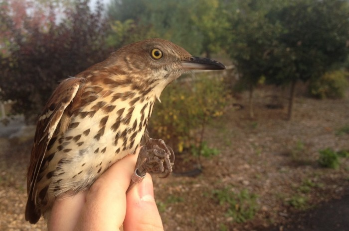 Brown Thrasher (Photo by Alex Lamoreaux)