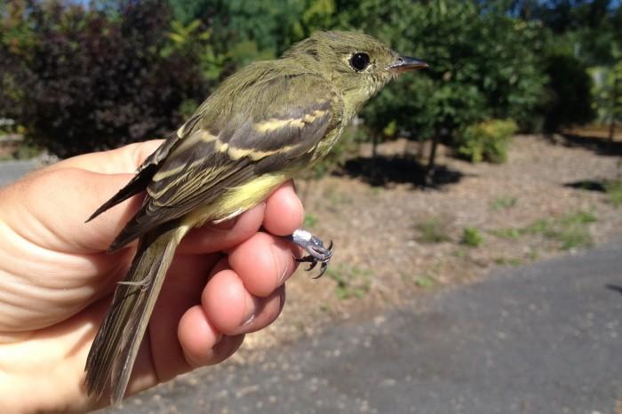 Yellow-bellied Flycatcher - juvenile (Photo by Alex Lamoreaux)