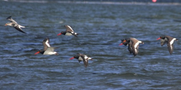 American Oystercatchers and a juvenile Black Skimmer - (photo by Steve Brenner)