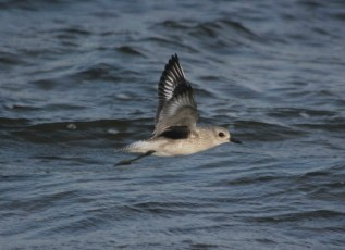 Black-bellied Plover flying along the beach (photo by Steve Brenner)