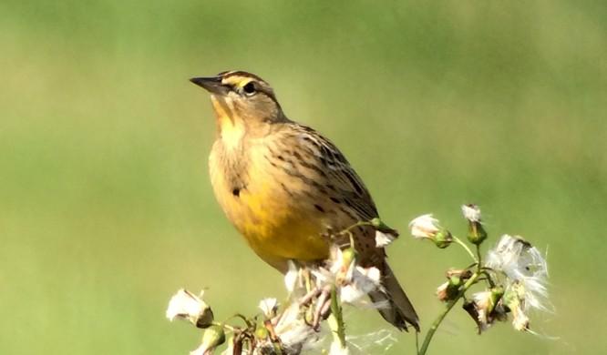 Eastern Meadowlark with 100% Digital zoom. handheld/Leica APO-Televid (Mike Lanzone)