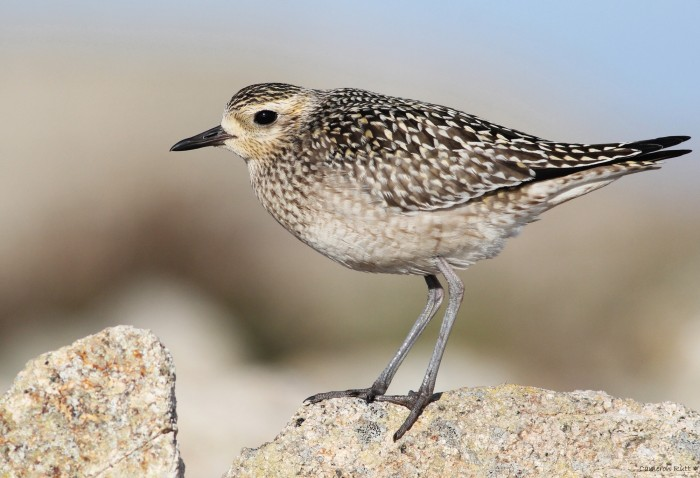 Figure 6. Juvenile Pacific Golden-Plover. Although the rather drab plumage tones on this bird might suggest American Golden-Plover, structure indicates otherwise. In this image, you can see three primary tips extending beyond the tertials, long tertials nearly reaching the tip of the tail, and a large bill. 12 October 2013 (Cameron Rutt)
