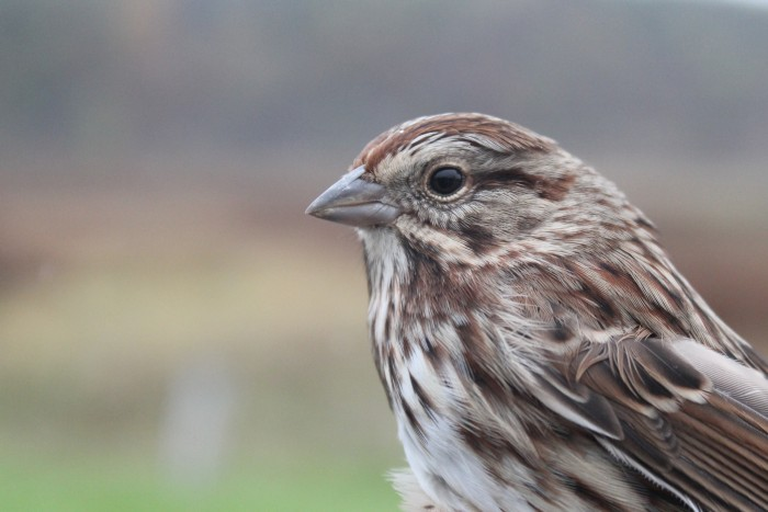 Song Sparrow (Photo by Alex Lamoreaux)