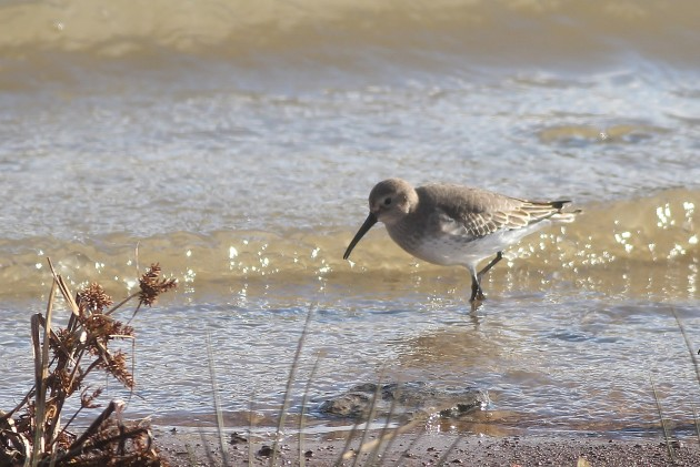 Dunlin foraging along the shoreline of Somerset Lake (Photo by Alex Lamoreaux)