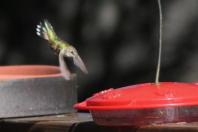 Rufous Hummingbird - immature female showing the notch in the tail feathers that distinguish it from Allen's (Photo by Alex Lamoreaux)
