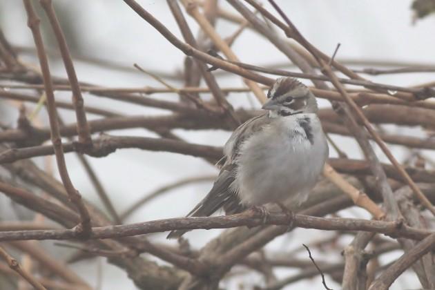 Lark Sparrow at Cape Henlopen SP (Photo by Alex Lamoreaux)