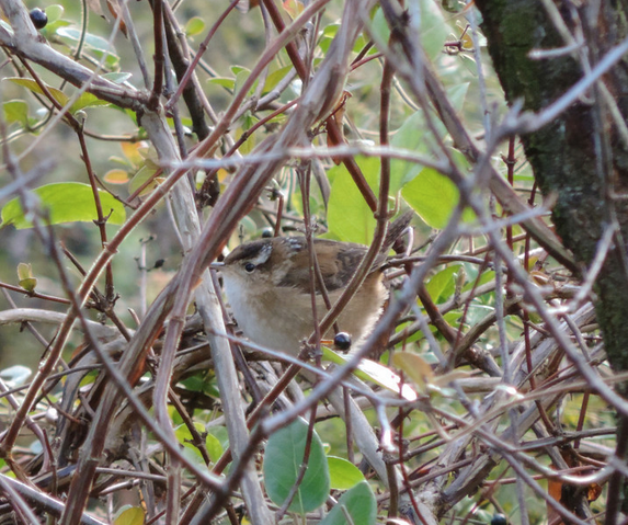 Marsh Wren--same individual as in id quiz photo Kenilworth Park, Washington, DC Photo by Jordan Rutter