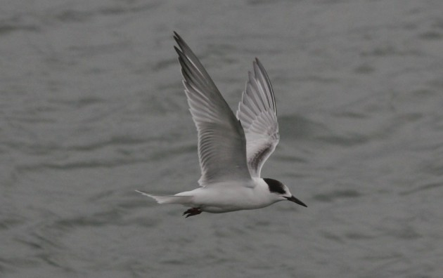 A late Common Tern, overshadowed by the presence of his long-lost cousin Elegant Tern - Squaw Island Park 11/21/13