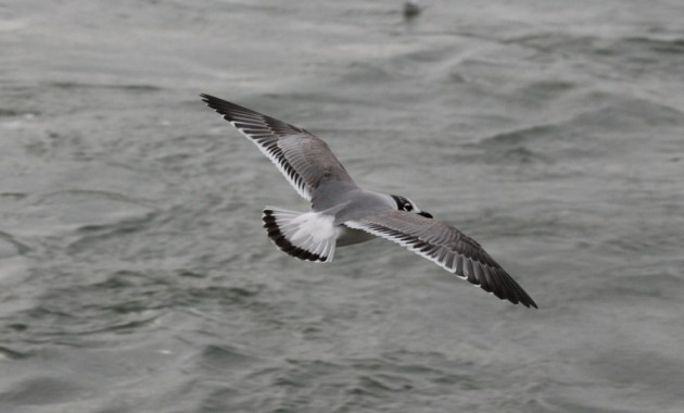 1st winter Franklin's Gull - Squaw Island 11/12/13 (photo by Steve Brenner)