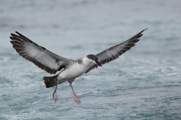 Great Shearwater landing behind the boat (Photo by Alex Lamoreaux)