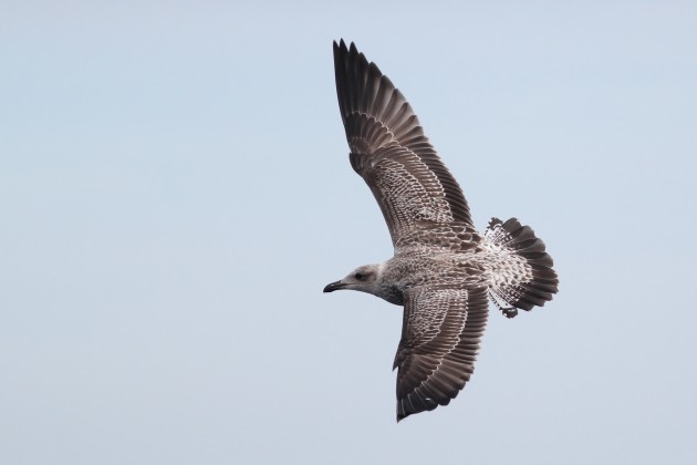 Lesser Black-backed Gull - juvenile (Photo by Alex Lamoreaux)
